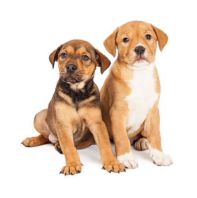 Two Cute Crossbreed Puppies Poster by Susan Schmitz