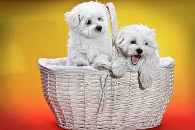 Two Cute White Puppies In Basket Poster by Photostock-israel