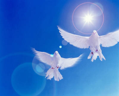 Two Doves Side By Side With Wings Poster by Panoramic Images