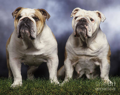 Two English Bulldogs Poster by Jean-Michel Labat