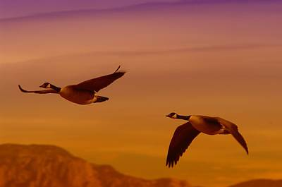 Two Geese In Flight Poster