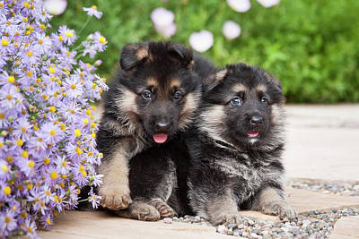 Two German Shepherd Puppies Sitting Poster