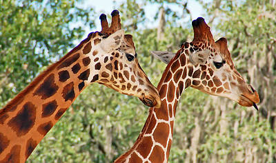 Two Giraffes Poster by Aimee L Maher Photography and Art Visit ALMGallerydotcom