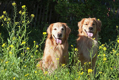 Two Golden Retrievers Sitting Together Poster by Zandria Muench Beraldo