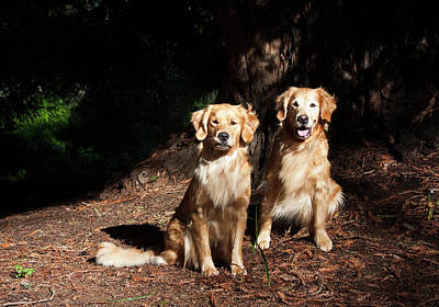 Two Golden Retrievers Taking Poster