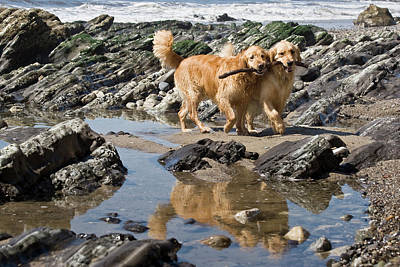 Two Golden Retrievers Walking Together Poster