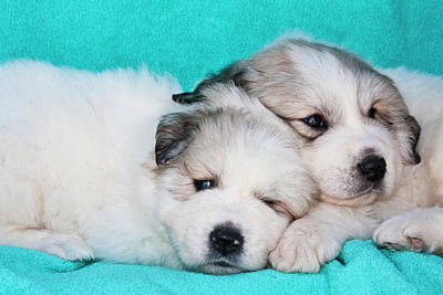 Two Great Pyrenees Puppies Lying Poster
