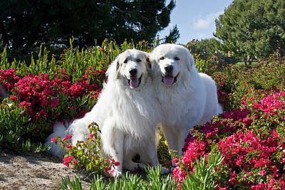 Two Great Pyrenees Together Among Red Poster