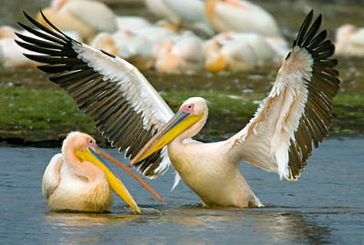 Two Great White Pelicans Wading Poster