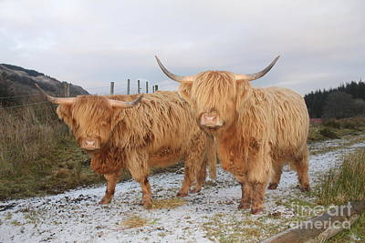 Two Highland Cows Poster by David Grant
