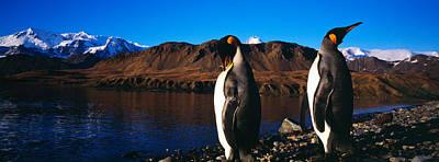 Two King Penguins Aptenodytes Poster