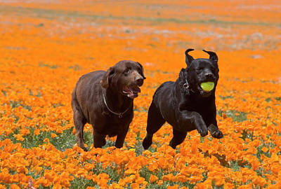 Two Labrador Retrievers Running Poster