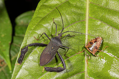 Two Leaf-footed Bugs Poster by Dr Morley Read