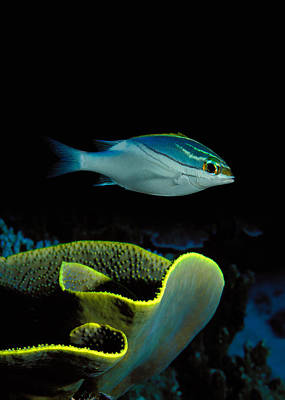 Two-lined Monocle Bream Scolopsis Poster by Panoramic Images