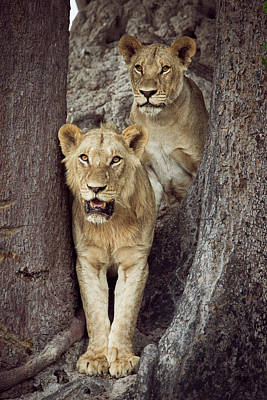 Two Lions Standing Together Poster