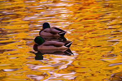 Two Mallards On Golden Water Poster