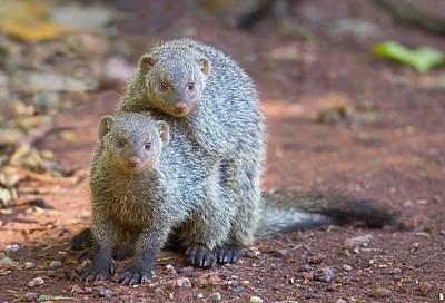 Two Mongoose Mating, Lake Manyara Poster