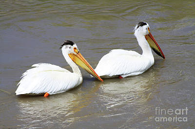 Poster featuring the photograph Two Pelicans by Alyce Taylor
