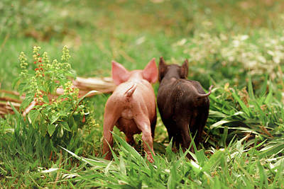 Two Piglets In The Grass Poster