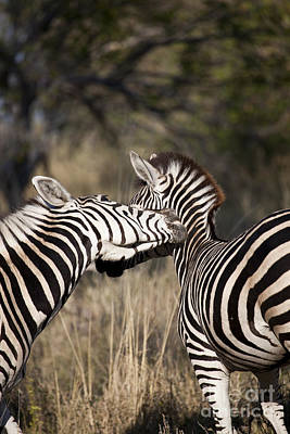 Poster featuring the photograph Two Plains Zebra Botswana by Liz Leyden