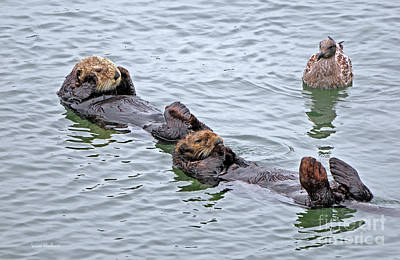 Two Sea Otters And A Gull Poster