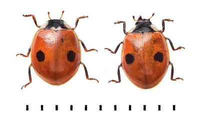Two-spot Ladybird Poster