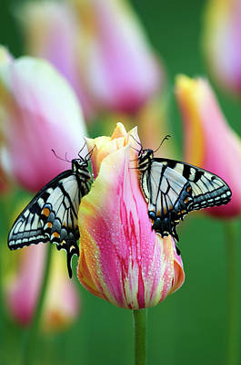 Two Swallowtail Butterflies On Tulip Poster by Jaynes Gallery