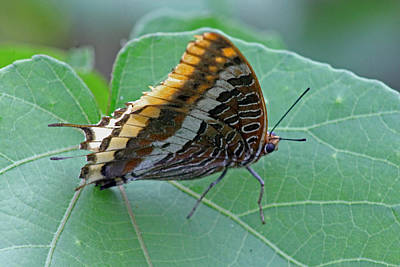 Two-tailed Pasha Poster