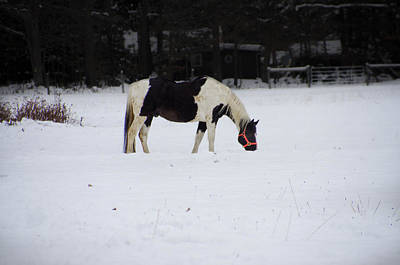 Two Toned Horse In The Snow Poster by Bill Cannon