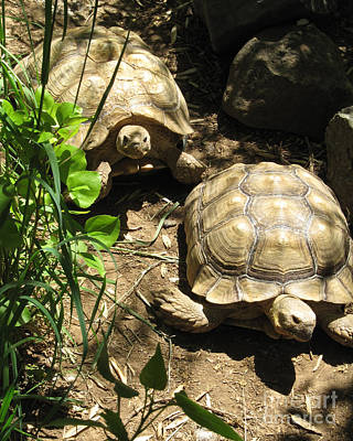 Two Tortoises Poster by CML Brown