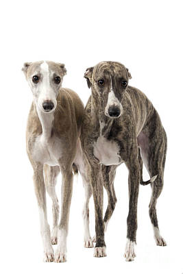 Two Whippets Poster by Jean-Michel Labat