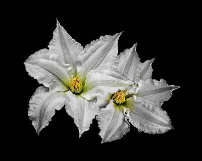 Two White Clematis Flowers On Black Poster