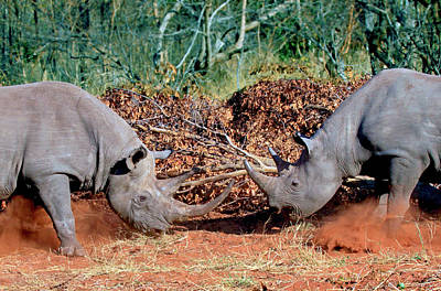 Two White Rhinoceros, Square Lipped Poster by Miva Stock