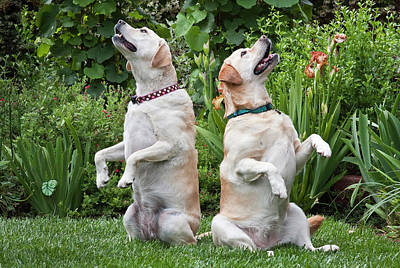 Two Yellow Labrador Retrievers Sitting Poster