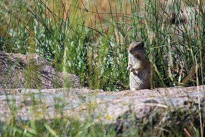 Uinta Ground Squirrel Poster by Jim West