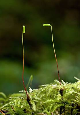 Umbrella Moss (leucolepis Acanthoneuron) Poster