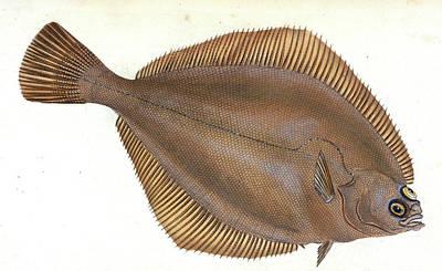 Unctuous Sucker, Cyclopterus Liparis, 1803 Poster by Artokoloro