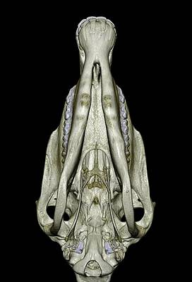 Underside Of A Horse's Skull Poster