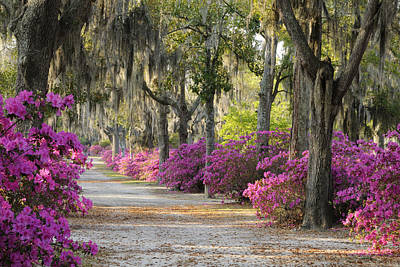 Unpaved Road With Azaleas And Oaks Poster by Bradford Martin
