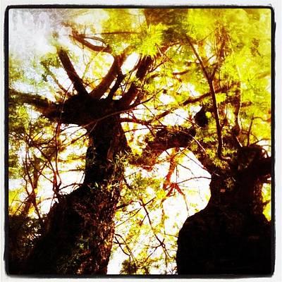 Untitled-twin Trees Poster by Juliann Sweet