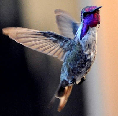 Poster featuring the photograph Up Up And Away Male Hummingbird by Jay Milo