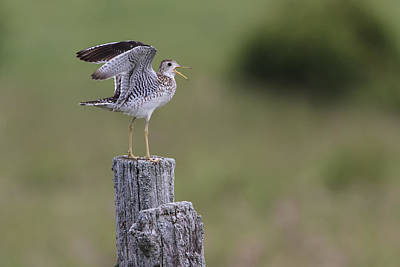 Upland Sandpiper Poster by Gary Hall