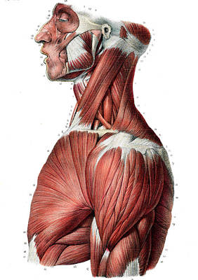Upper Body Muscles Poster by Collection Abecasis