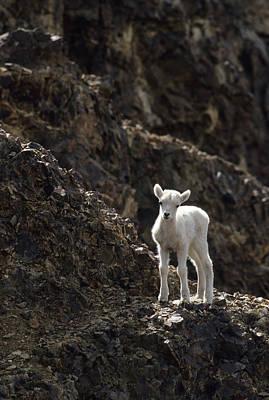 Usa, Alaska, Dall Sheep, Dall Lamb Poster