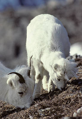 Usa, Alaska, Dall Sheep, Ewe, Ewe Poster by Gerry Reynolds
