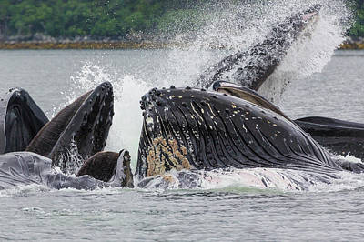 Usa, Alaska Humpback Whales Bubble Net Poster by Jaynes Gallery