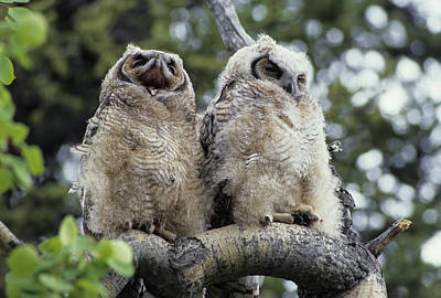 Usa, Alaska, Juvenile Great Horned Owl Poster by Gerry Reynolds