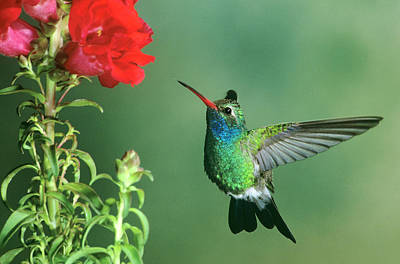 Usa, Arizona Broad-billed Hummingbird Poster by Jaynes Gallery
