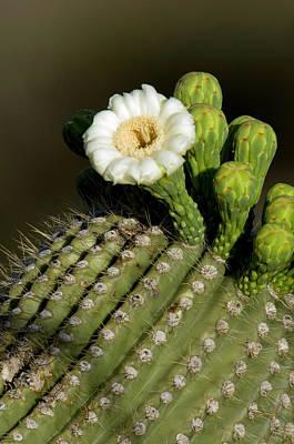 Usa, Arizona, Tucson, Saguaro National Poster