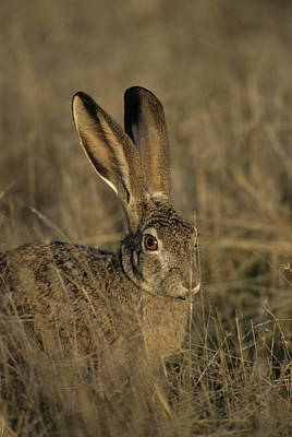 Usa, Black-tailed Jackrabbit Poster by Gerry Reynolds